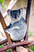 Koala sitting in tree