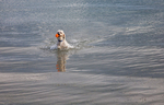 Poodle emerging from the ocean after retrieving his ball