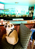 English bulldog sitting at bar in New Orleans