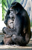 Mother gorilla holding her baby