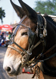 Side view of mule in New Orleans