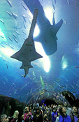 Crowds view a whale shark and large sawfish in Georgia Aquarium acrylic tunnel