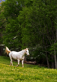 White horse running in pasture 