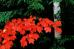 Red maple leaves and evergreen 