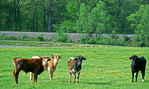 Short horned bulls and cows in pasture at springtime