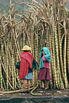 ECUADOR, Andes, Tungurahua province. Quechua Indian women selling sugar cane on the market in the village of Banos between Ambato and Puyo cities.