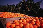 USA, California : orange harvesting in San Joaquim Valley . 