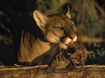 Florida panther licking cub, Felis concolor coryi, Endangered specie, Controlled conditions, Florida
