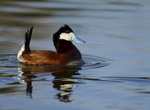 Displaying Male Ruddy duck, Oxyura jamaicensis  at the Henderson Bird viewing preserve, Nevada.