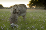Miniature donkey (DJ) feeding in pasture at dusk. Spring flowers in rural Florida farm.