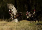 Osceola Turkey gobblers fighting, Meleagris gallopavo osceola, Territorial behavior, Central Florida, wild
