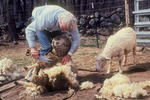 Hand Shearing Sheep 