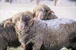 Merino Rams covered with Snow