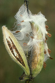 Early Morning Dew on Milk Weed Pods 