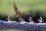 Young Barn Swallows Feeding