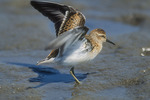 Least Sandpiper Stretches Its Wings