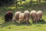 Sheep grazing on summer grass