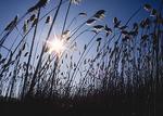 Phragmites grass.