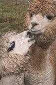 Two Friendly Alpacas