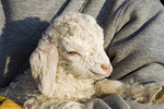 Molly, A Four Day Old Angora Goat