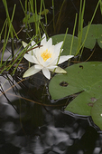 Water Lily Blooming in July