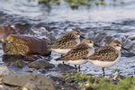 Three Least Sandpipers