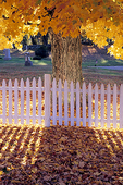 White Picket Fence and Fall Colors