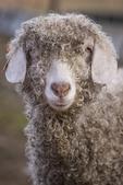 Martha, Angora Goat
