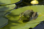 Green Frog sitting on a lily pad