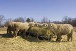 Merino Sheep Feeding