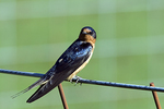 Barn Swallow Sitting on a Fence
