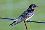 Barn Swallow Resting on  a Fence
