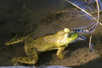 Bull Frog Eating a Pickerel Frog