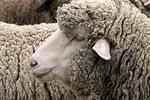 Merino Sheep Profile