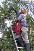 Migrant Worker Picking Apples