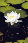 Water Lily and Lily Pads