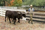 Costumed Interpreter Leads Oxen