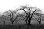 Apple Trees in Black and White