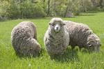 Three Sheep on Spring Pasture