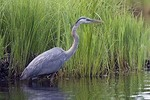 Great Blue Heron Hunting #2