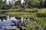 Tully River and Pickerel Weed