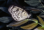 Paper Kite or Rice Paper Butterfly