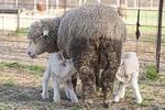 Twin Lambs Nursing