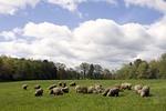 Flock of Merino Sheep Grazing