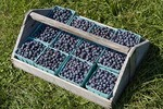 Just Picked Blueberries