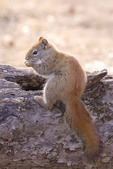 American Red Squirrel