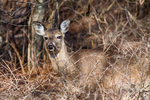 White Tailed Deer blends in with the environment