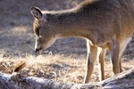 Young White-tail Deer Looks at a Red Squirrel