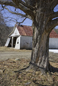 Old Dilapidated Garage with a Maple Tree