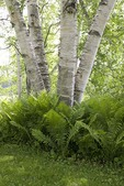 White Birch and Cinnamon Fern